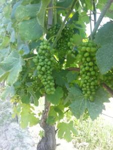 Die Gegend um Cuneo ist auch für guten Wein bekannt.