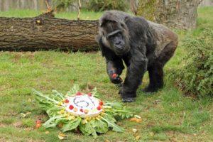 Die rüstige Gorilla-Dame Fatou.