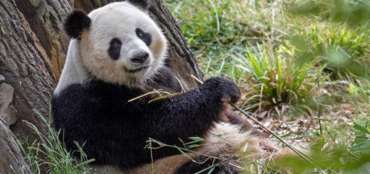 Auch die Pandas im Zoo freuen sich über Besuch.