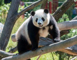 Die Pandas haben sich gut eingelebt.