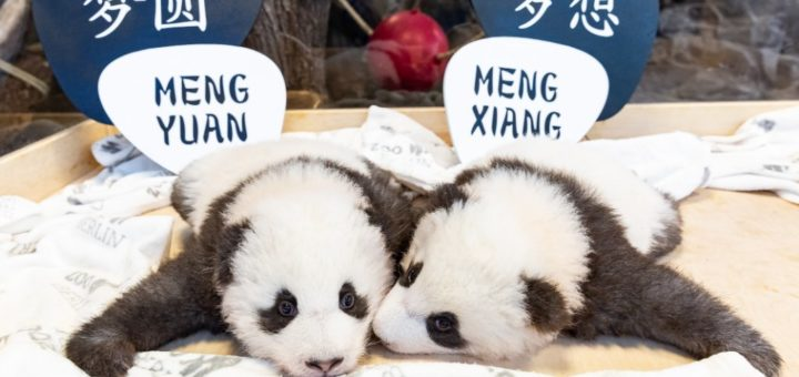 Die Panda-Zwillinge haben ihre Namen bekommen.