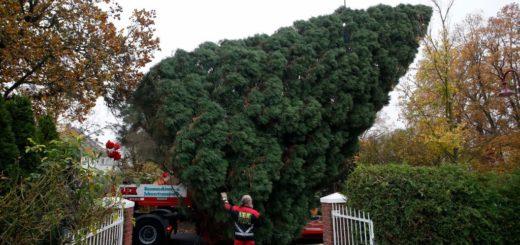 Der große Weihnachtsbaum wurde aus Neuenhagen geholt.