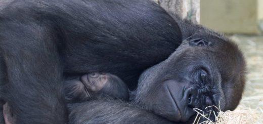 Gorillas im Zoo Berlin haben Nachwuchs bekommen