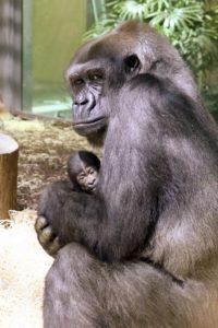 Gorilla-Mutter Bibi mit ihrem Neugeborenen.